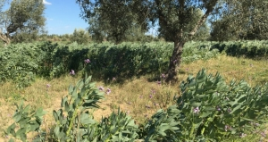 Agroforestry, combining the production of olives, peppers and beans on the same plot (Plaine de Kairouan, Tunisia).